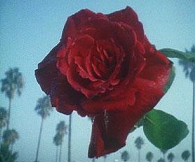 Echo Park rose